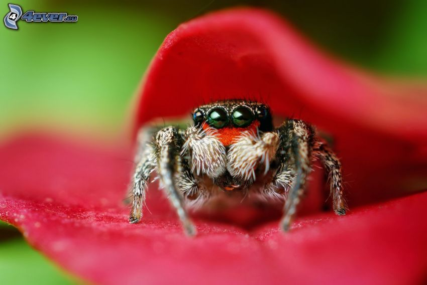 Spinne, rote Blume