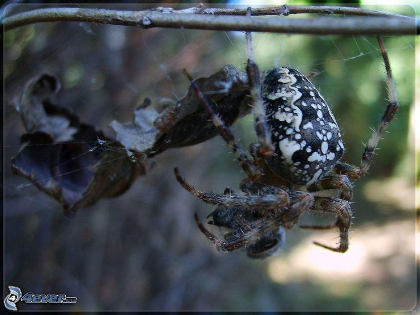Spinne, trockenes Blatt