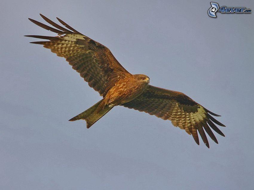 Adler, Flug, Flügel