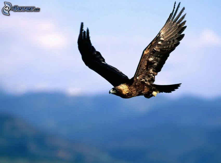 Adler, Flug