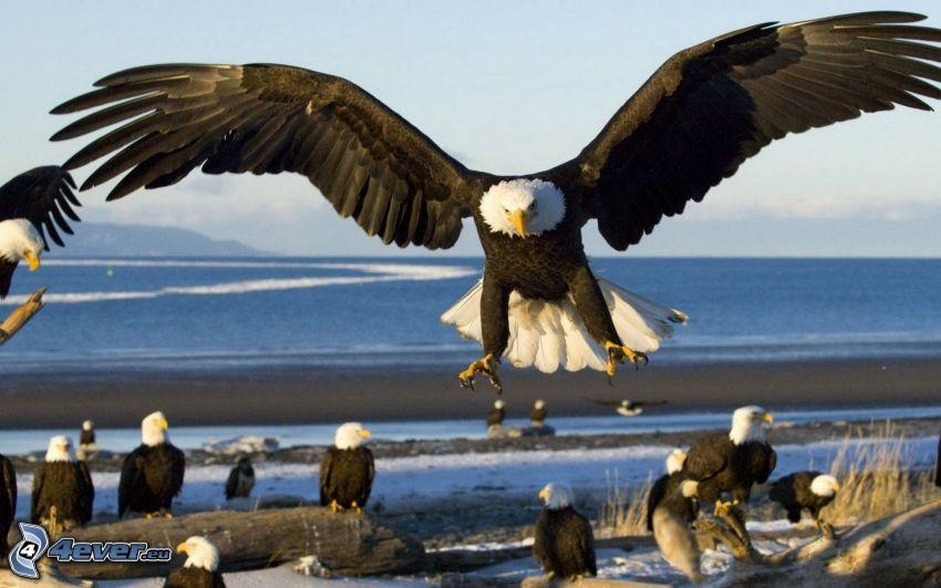 Adler, Flügel, Landung