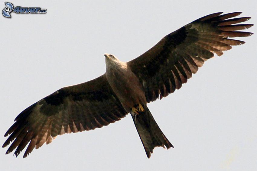 Adler, Flügel