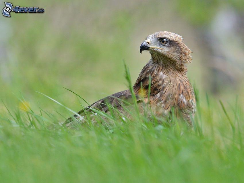 Adler, Gras