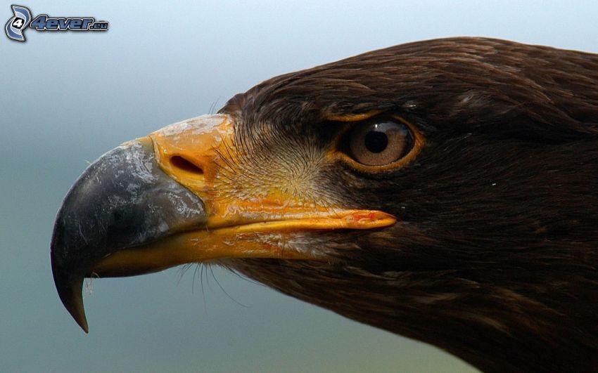 Adler, Kopf, Schnabel, Auge