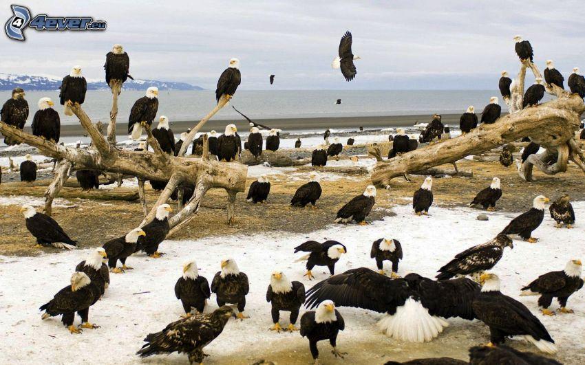 Adler, trockener Stamm