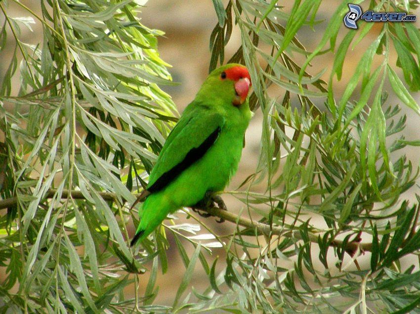 Agapornis, grüne Blätter