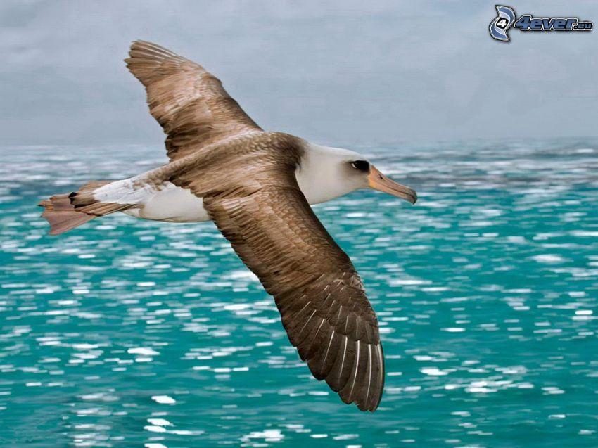 Albatros, Flug