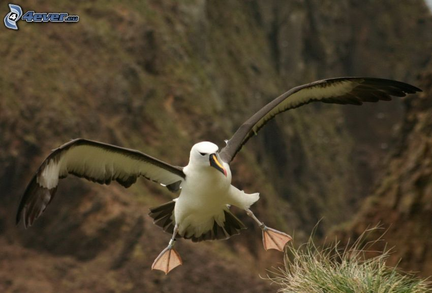 Albatros, Flügel, Landung