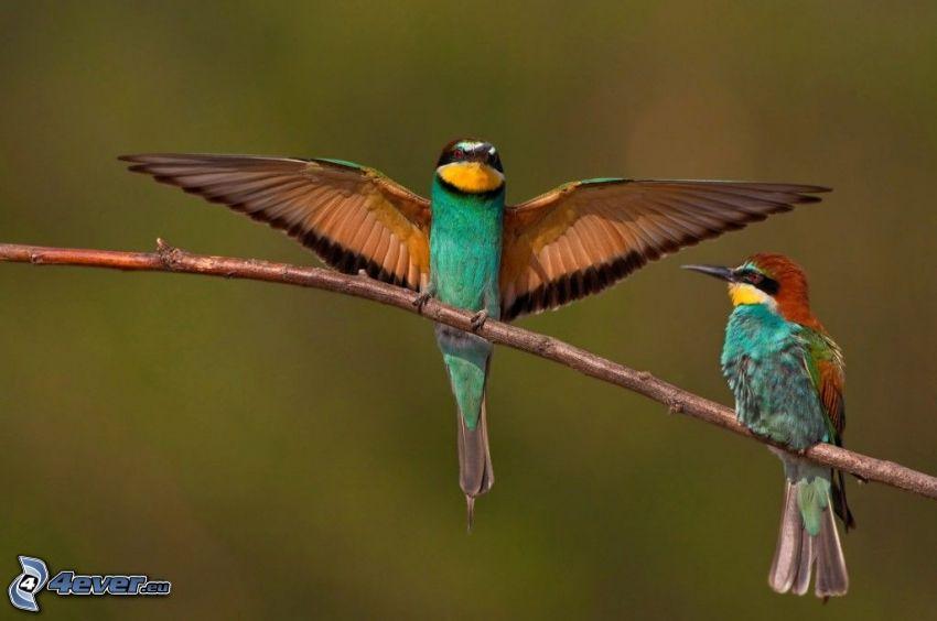 Bienenfresser, bunte Vögel auf einem Ast