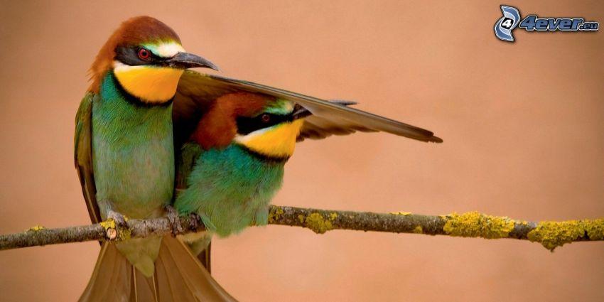 Bienenfresser, Vögel auf einem Ast