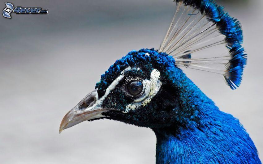 blauer Vogel, Gefieder