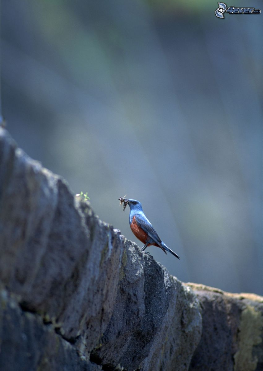 blauer Vogel, Nahrung, Felsen