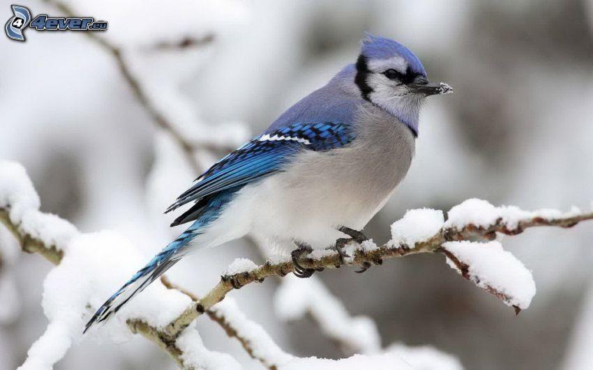 blauer Vogel, schneebedeckten Zweig