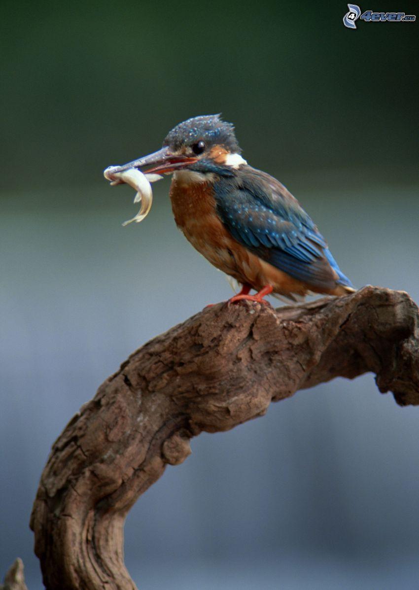 Eisvogel, Fisch, Nahrung, Holz