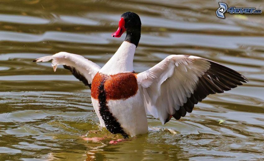 Ente, Flügel, Wasser