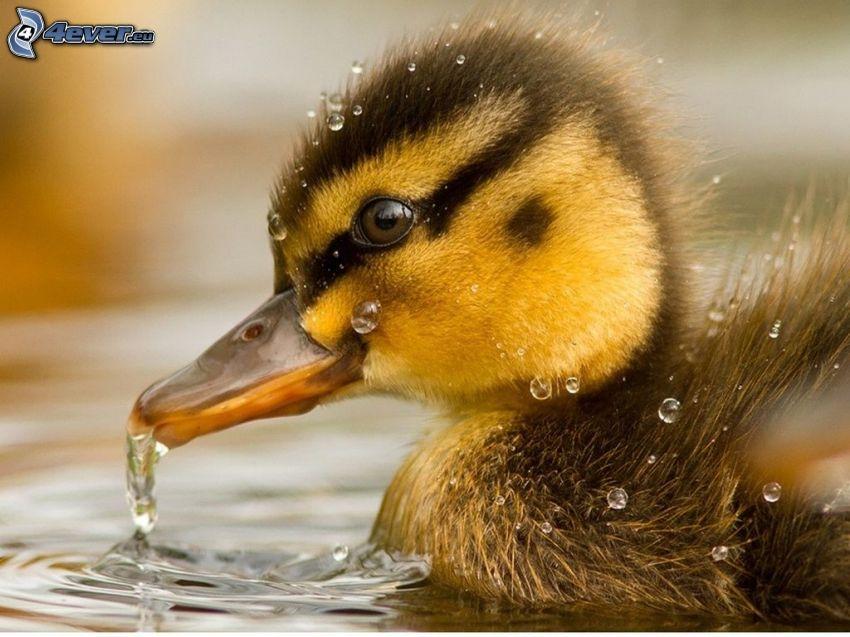 Ente, Wasser, splash