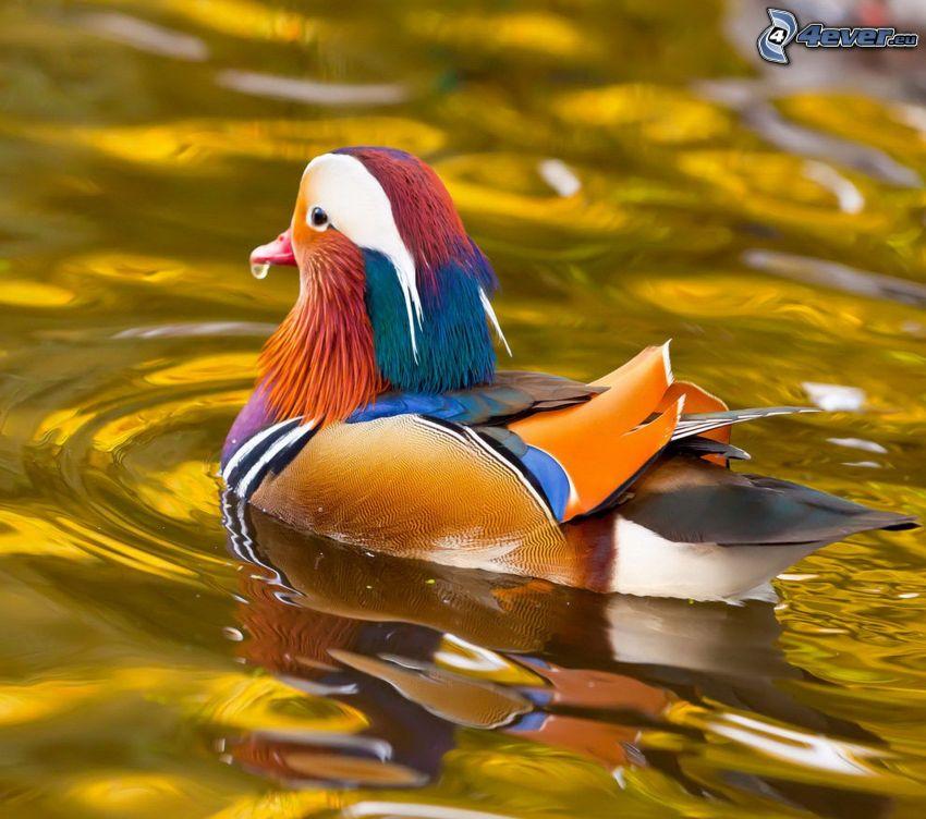 Ente, Wasser
