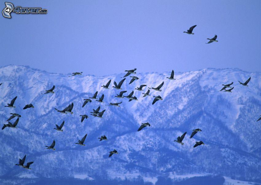 Enten, Flug, schneebedeckte Berge