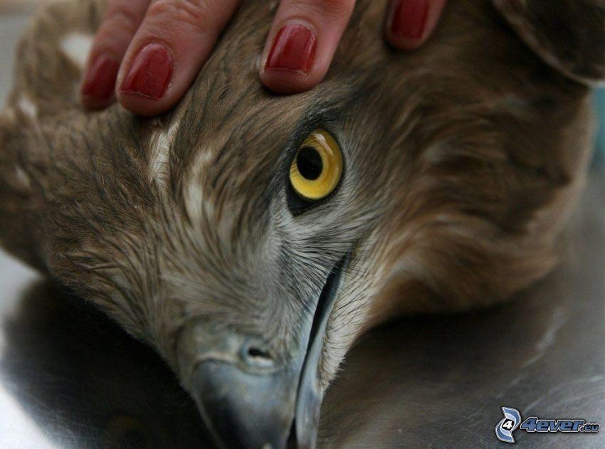 Falke, Hand