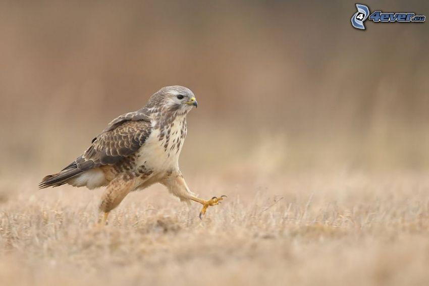 Falke, Wandern