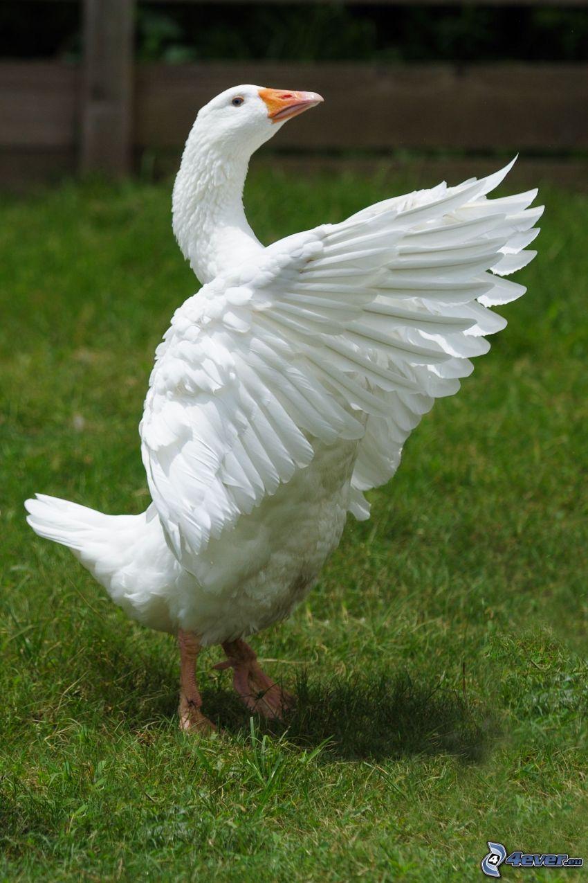Gänse, Flügel