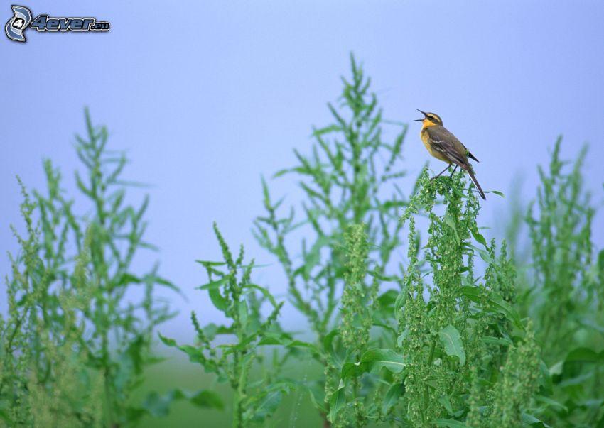 gelber Vögel, Pflanzen