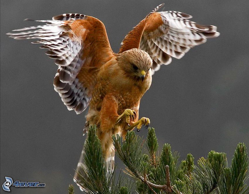 Habicht, Landung, Flügel, Nadelästchen