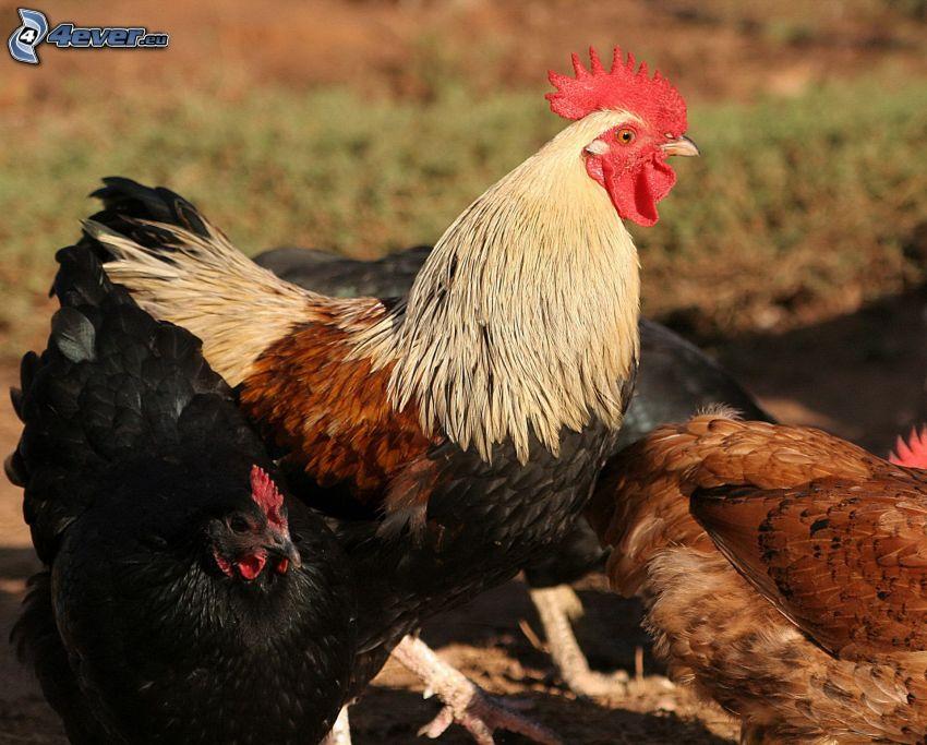 Hahn, Hahn und Hühner