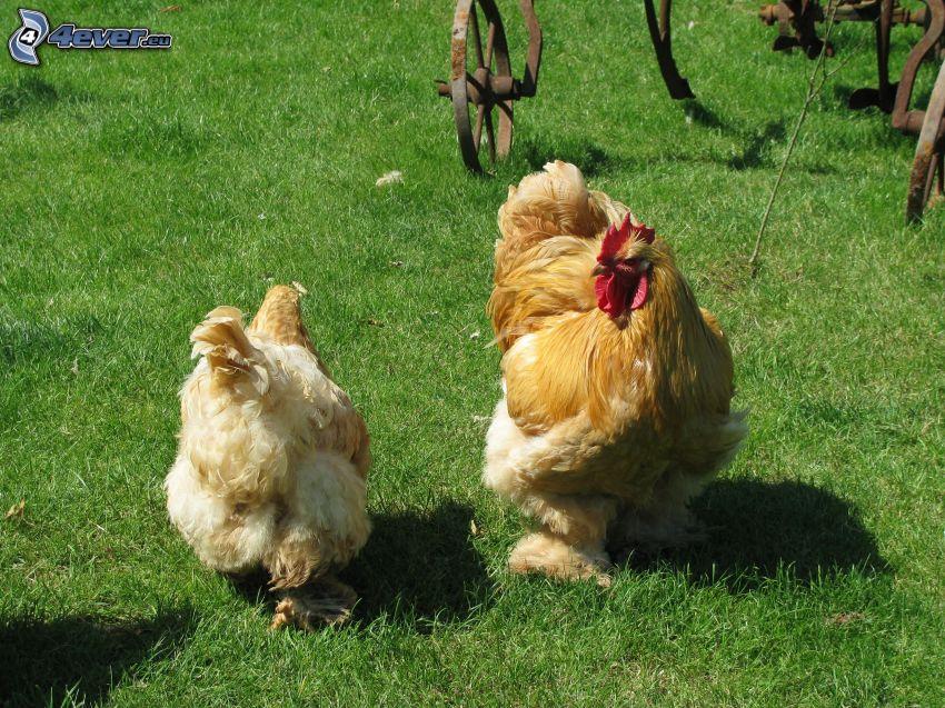 Hahn und Hühner, Hahn, Gras