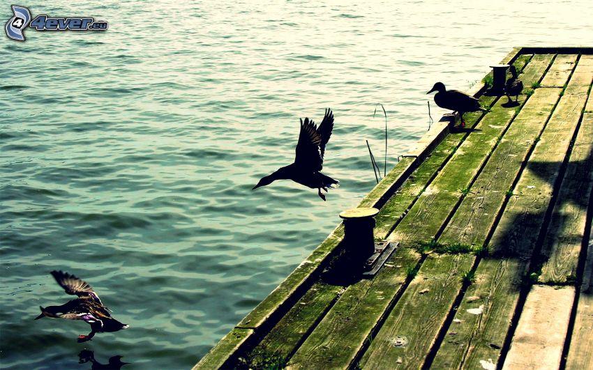 Holzsteg, Enten, Wasser