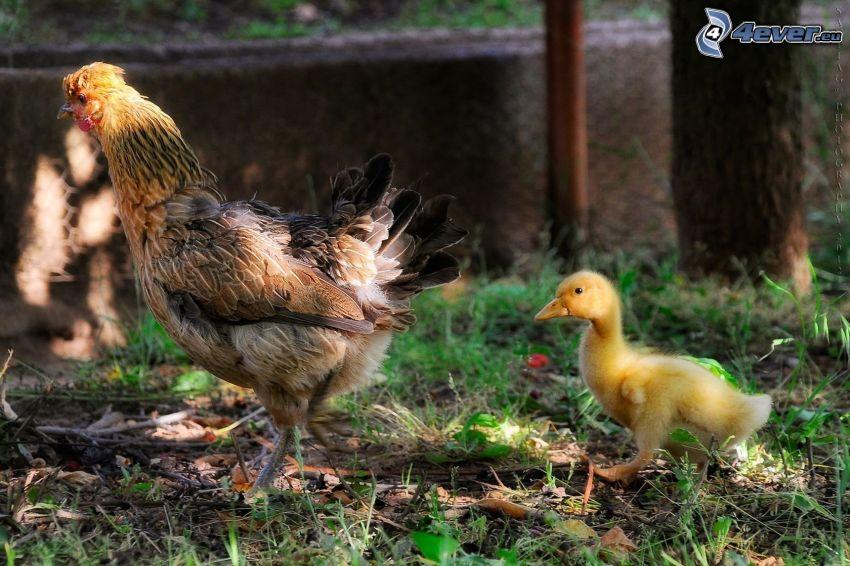 Huhn, kleines Entlein