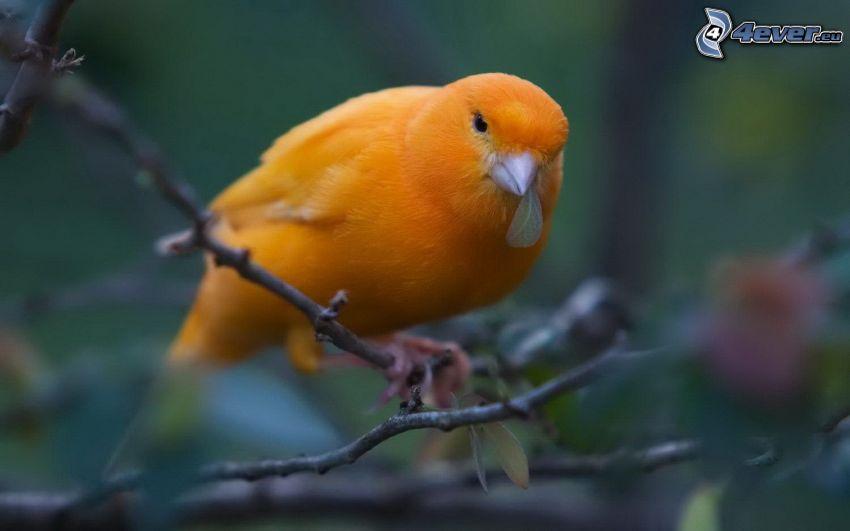 Kanarienvogel, Zweig