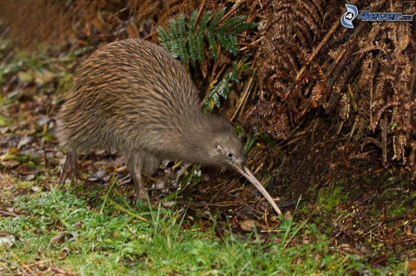 Kiwi-Vogel