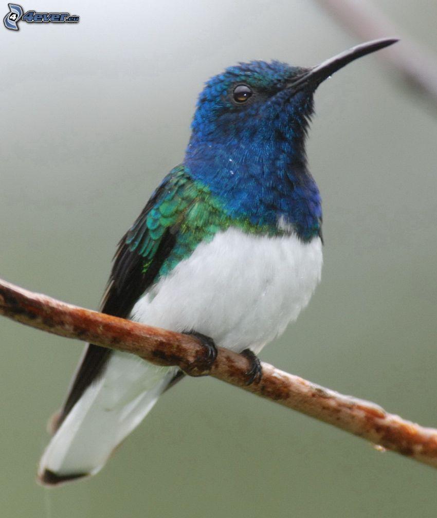 Kolibri, Ast
