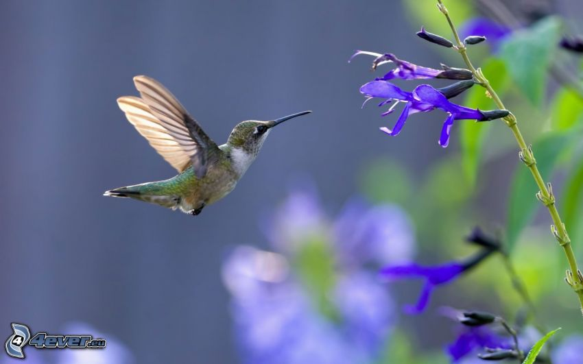 Kolibri, blaue Blumen
