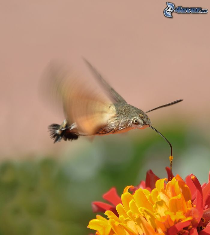 Kolibri, Blume