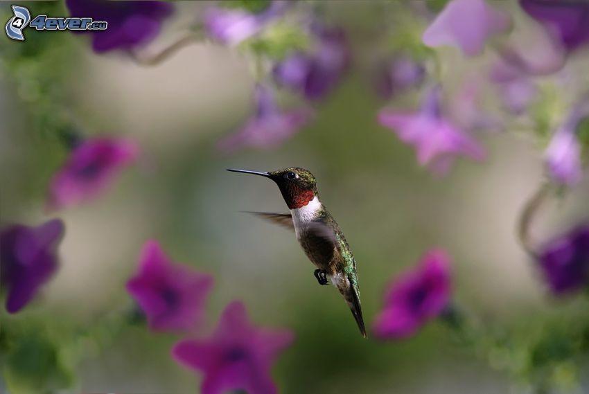 Kolibri, lila Blumen