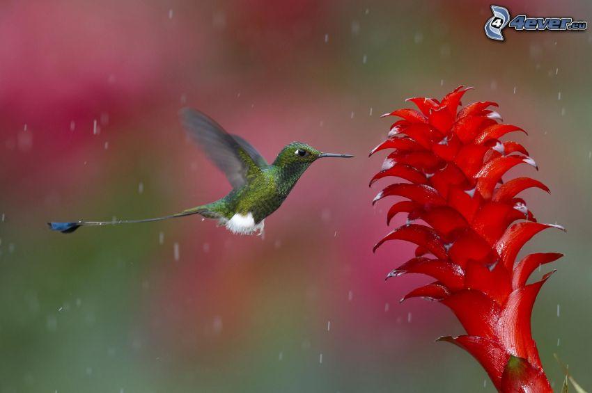 Kolibri, rote Blume, Tropfen des Regens