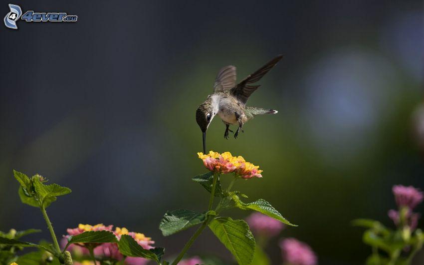 Kolibri, Vögel, Blumen