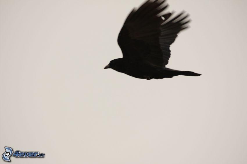 Krähe, Flug