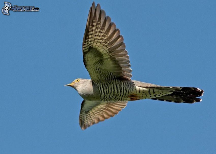Kuckuck, Flügel, Flug