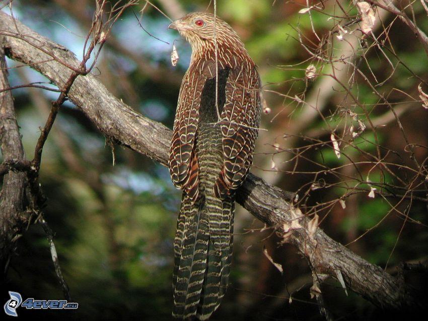 Kuckuck, Vogel auf einem Zweig