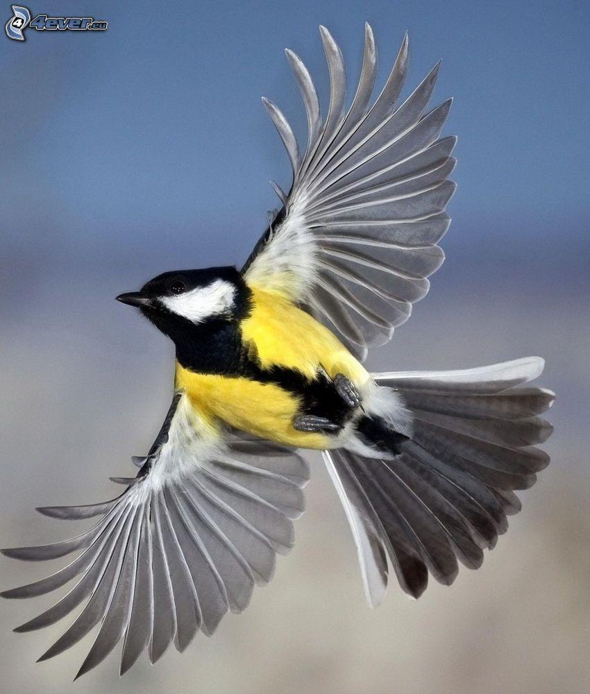 Meise, Flügel