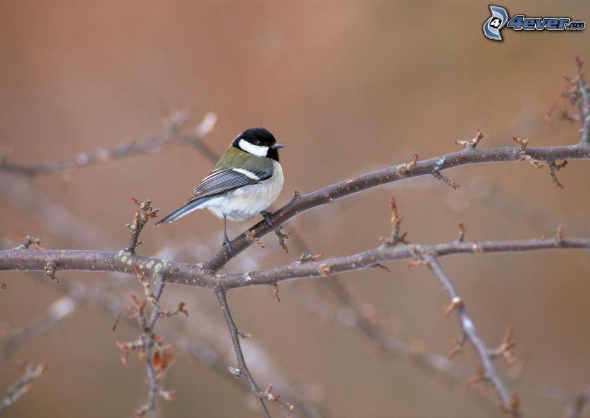 Meise, Vogel auf einem Zweig