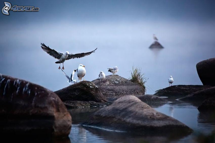 Möwen, Steine, Wasser, Flügel, Landung