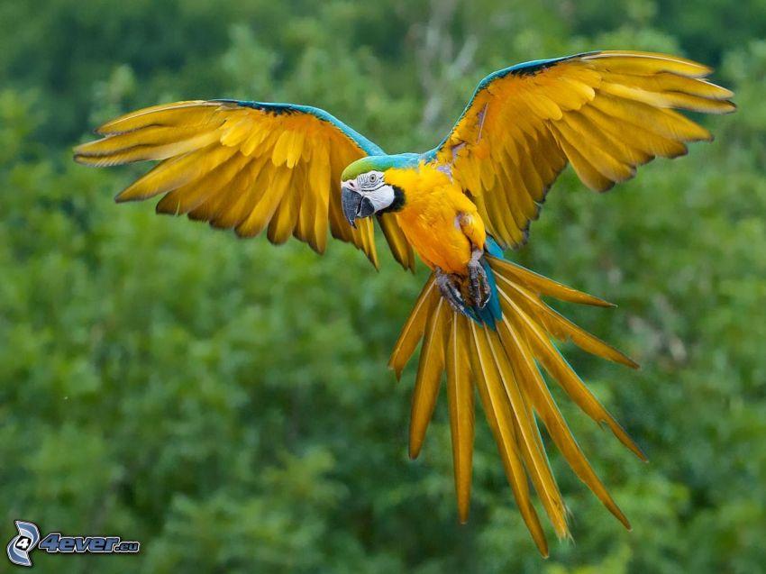 Papagei Ara, Flügel
