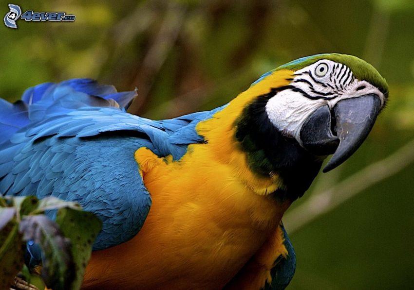 Papagei Ara