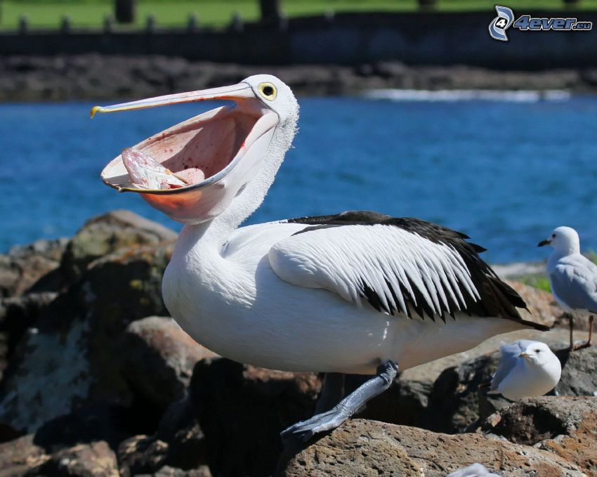 Pelikan, Felsen, Möwen
