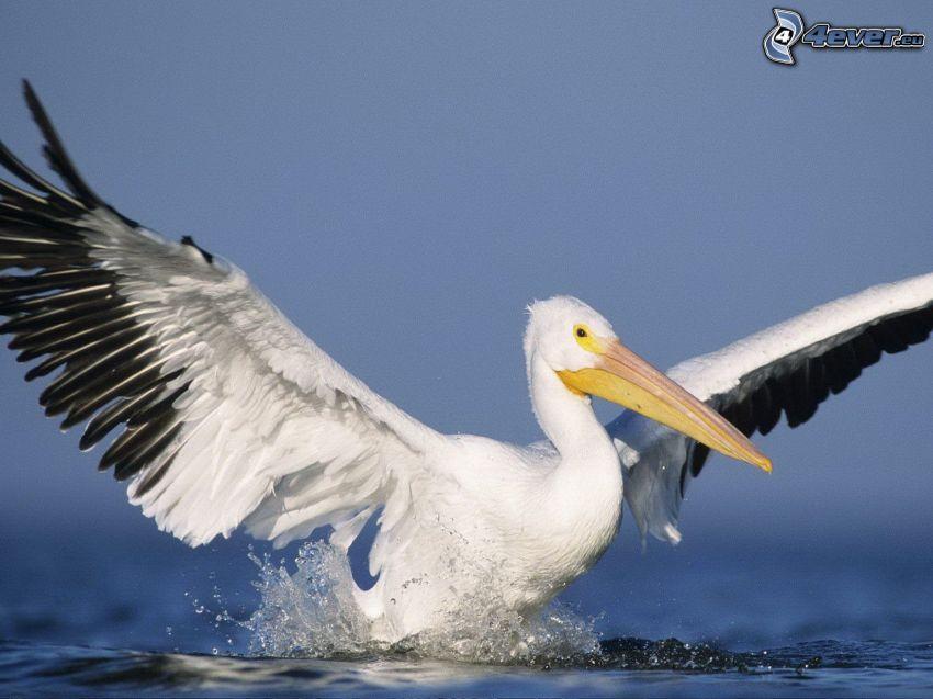 Pelikan, Flügel, Wasser