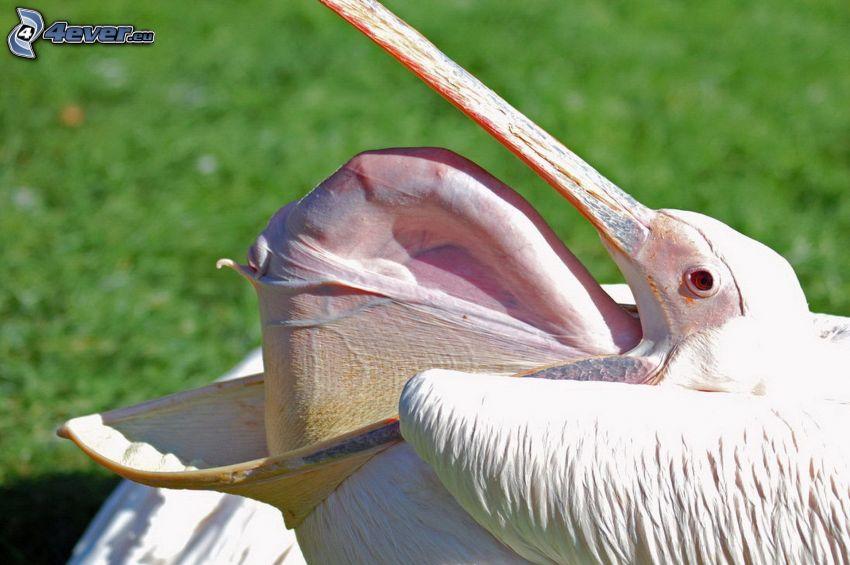 Pelikan, Schnabel